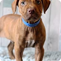 Adopt A Pet :: Davin - Waldorf, MD