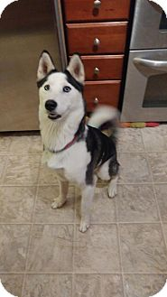 Siberian Husky Puppy for adoption in Mount Juliet, Tennessee - Xena