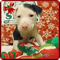 Adopt A Pet :: Sage - Ringwood, NJ