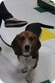 Basset Hound/Beagle Mix Dog for adoption in Grand Rapids, Michigan - George