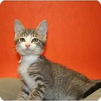 Adopt A Pet :: DIMAGGIO - SILVER SPRING, MD