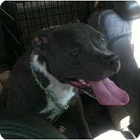 Adopt A Pet :: Rocko - Reisterstown, MD