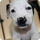 Adopt A Pet :: Sheriff Litter