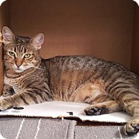 Domestic Shorthair Cat for adoption in Queens, New York - Queen Bea
