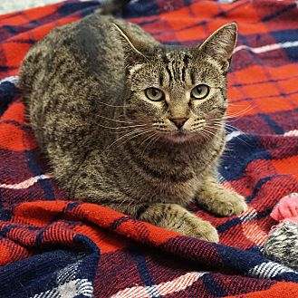 Domestic Shorthair Cat for adoption in Mt Vernon, New York - Baby Cakes 'Sweet'