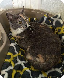 Domestic Shorthair Cat for adoption in Greensburg, Pennsylvania - Josie