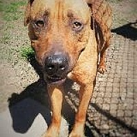 Labrador Retriever/Boxer Mix Dog for adoption in Little Rock, Arkansas - MARLEY