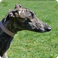 Greyhound Dog for adoption in Portland, Oregon - Darla