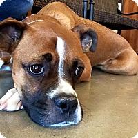 Adopt A Pet :: Cleo - Austin, TX