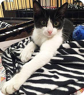 Domestic Shorthair Kitten for adoption in Boca Raton, Florida - Sonya