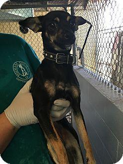 Miniature Pinscher/Chihuahua Mix Dog for adoption in El Centro, California - Olivia