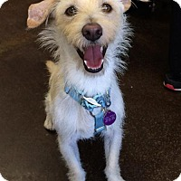 Cairn Terrier Mix Dog for adoption in Mission Viejo, California - Anakin
