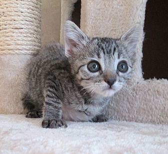 Domestic Shorthair Kitten for adoption in San Bernardino, California - Buccaneer