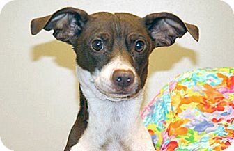 Chihuahua/Dachshund Mix Dog for adoption in Wildomar, California - Rosita
