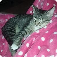 Adopt A Pet :: DIPPER - Dallas, TX