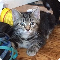 Domestic Shorthair Kitten for adoption in Herndon, Virginia - George