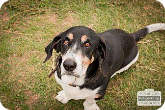 Basset Hound Mix Dog for adoption in Leander, Texas - Delmar