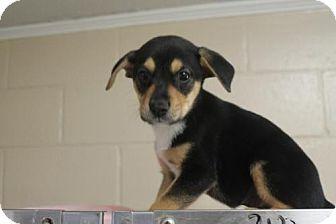 Beagle/Labrador Retriever Mix Puppy for adoption in Monroe, Georgia - Scout