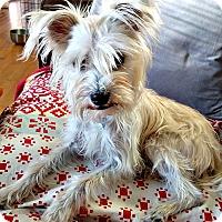 Adopt A Pet :: Simon - Boulder, CO