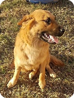 Shepherd (Unknown Type) Mix Dog for adoption in Manchester, Connecticut - Dusty meet me 12/16