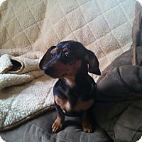 Adopt A Pet :: Titus - Silverdale, WA