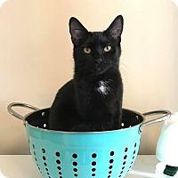 Adopt A Pet :: Bellatrix - Columbus, OH