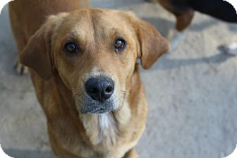 Labrador Retriever/Hound (Unknown Type) Mix Dog for adoption in Tunbridge, Vermont - Jules