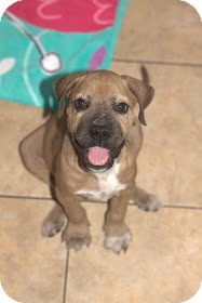 Boxer Mix Puppy for adoption in Lighthouse Point, Florida - Frankie