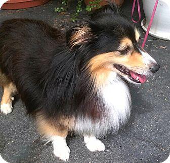 Dog Ready For Adoption Shetland Sheepdog Sheltie Boxer Mixed | Dog ...