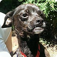 Adopt A Pet :: SUZY - Chicagoland area, IL