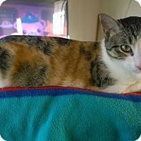 Domestic Shorthair Cat for adoption in Ravenna, Texas - Aina Precious