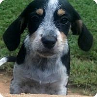Adopt A Pet :: Lacy - Smyrna, GA