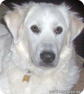 Great Pyrenees Mix Dog for adoption in Beacon, New York - Hillary