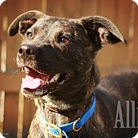 Adopt A Pet :: Alli - Martinsville, IN