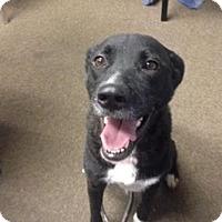 Adopt A Pet :: Vixen - Lebanon, CT