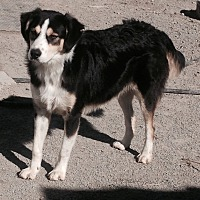 Australian Shepherd/Husky Mix Dog for adoption in Hillsboro, Ohio - Donald