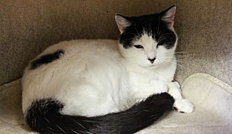 Domestic Shorthair Cat for adoption in New Richmond,, Wisconsin - Tator
