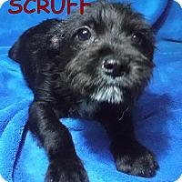 Adopt A Pet :: Scruff - Batesville, AR