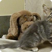 Domestic Longhair Kitten for adoption in Columbus, Nebraska - Howie