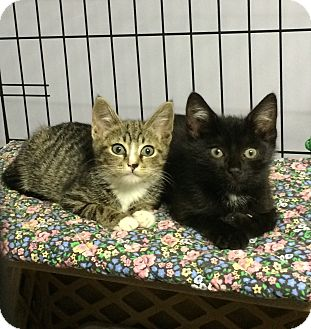 American Shorthair Kitten for adoption in Brooklyn, New York - Layette and Hamilton