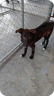 Labrador Retriever/Collie Mix Puppy for adoption in Camilla, Georgia - Trista
