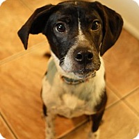 Labrador Retriever/Pointer Mix Dog for adoption in Gainesville, Florida - Gabby