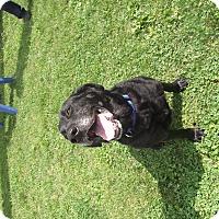 Adopt A Pet :: Midnight - Chambersburg, PA