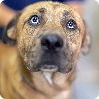 Labrador Retriever Mix Dog for adoption in Lakewood, Colorado - Remington
