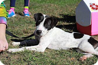 Pointer/Labrador Retriever Mix Puppy for adoption in GREENLAWN, New York - Bubbles