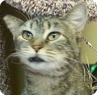 Domestic Shorthair Cat for adoption in Lexington, Kentucky - Story