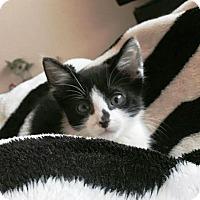 Domestic Shorthair Kitten for adoption in Orange, California - Colt