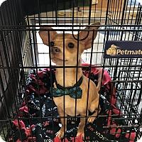 Adopt A Pet :: A - CHESTER - Burlington, VT