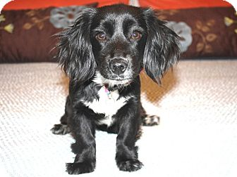 Cocker spaniel dachshund mix puppy - photo#19