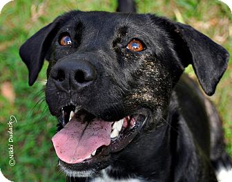 Labrador Retriever/American Pit Bull Terrier Mix Dog for adoption in Orlando, Florida - Oreo